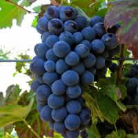 Blended Wines