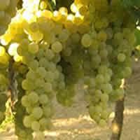 Orvieto wines