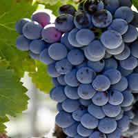 Rhone wines