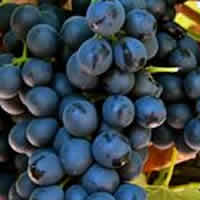 Syrah and Shiraz wines