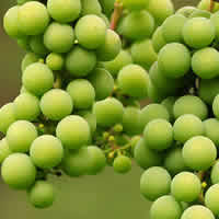 white table wines