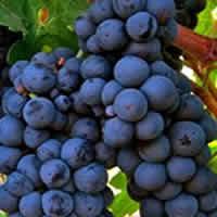 White Zinfandel Grapes