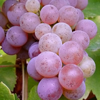 Rose Grapes